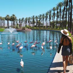 flamingo freetoedit palmsprings desert california photography summer people sky travel nature travelblog traveler travelphotography ootd animals picsartvip hotels style