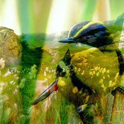 freetoedit doubleexsposure bird nature