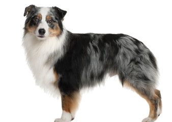 dog aussie australianshepherd animal freetoedit