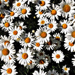 pcgrass grass flowers daisy grassflower