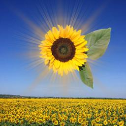 freetoedit sunflower sun flower flowers