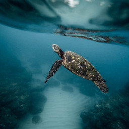 freetoedit turtle animal sea underthesea
