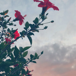 lateafternoon nature flowers redhibiscus skyandcloudsbackground freetoedit