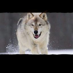 lobos🐺 lobos