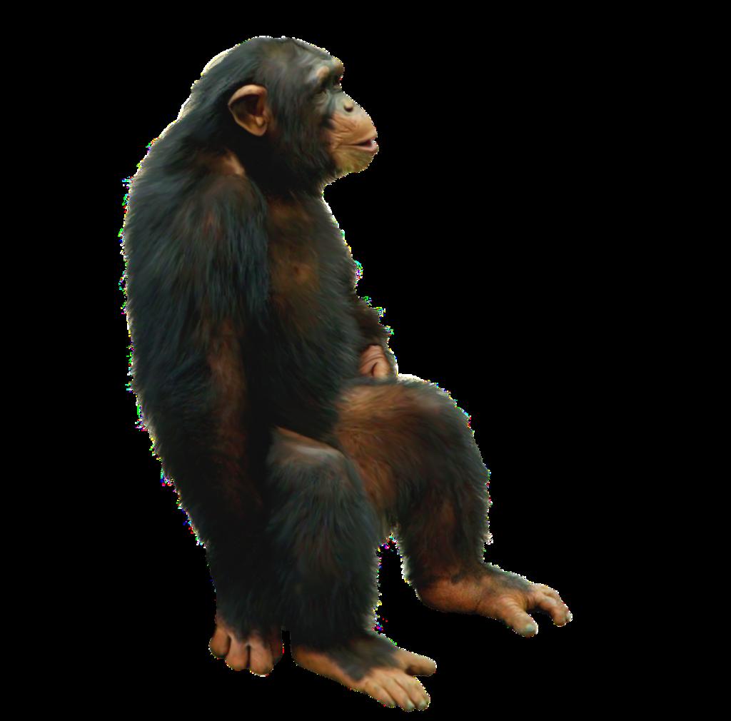 Chimpanzee stock photo. Image of horizontal, africa ...  |Chimp Sitting