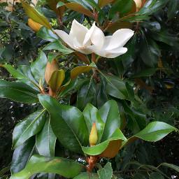 freetoedit nature tree flovers magnolia