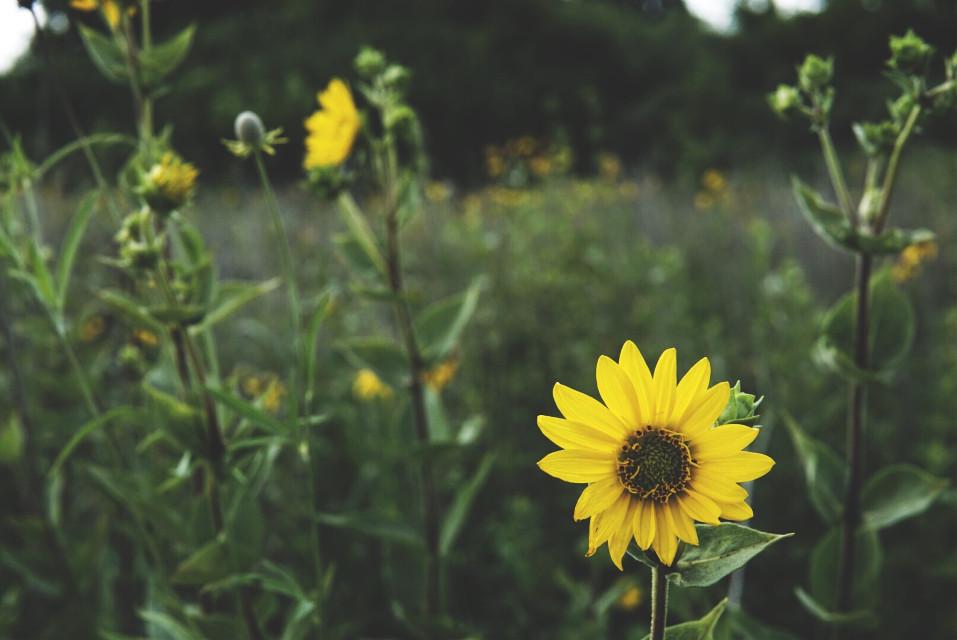 Among the wildflowers  #flowers #summer #yellow #freetoedit