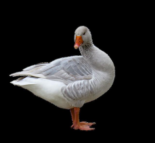 newest 7e79e d2c0d sticker stickers gans geese bird vogel birds vögel wass...