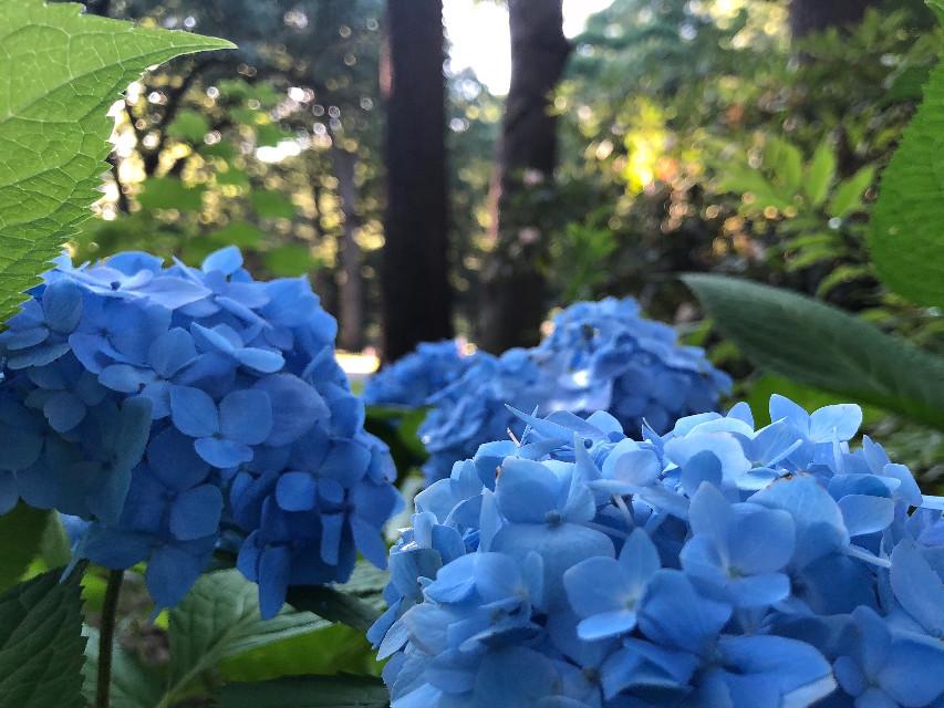 #freetoedit #nature #blue #hydrangea #sunlight