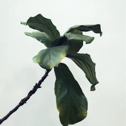 freetoedit plant plants leave leaves
