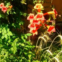 trumpetvine desertlife plantsandflowers