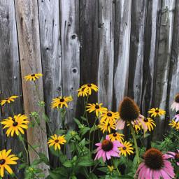 freetoedit floralcanvas colorful flowers fence