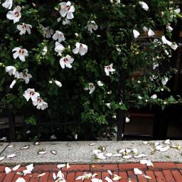 freetoedit petals floralcanvas florals floralbackgrounds