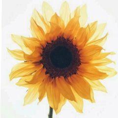 sunflowermucq
