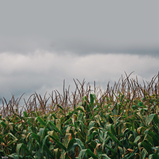 #freetoedit #cornfield #farmland #myoriginalphoto