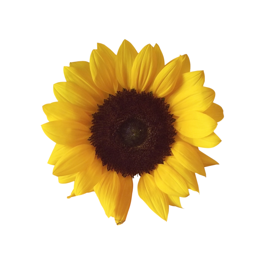 Girasol Flor Tumblr Sticker By Evelyn Martinez 3