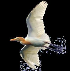bird crane egret heron freetoedit