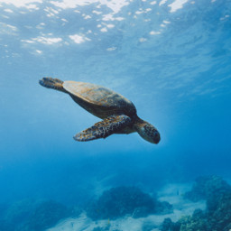 freetoedit turtle turtles sea seas