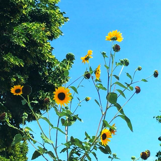 #freetoedit #sunflowers #tree #bluesky #wildflowers