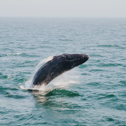 freetoedit whale animal animals whales