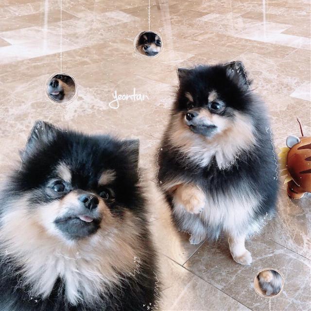 Happy 1st birthday Yeontan~ 🐶🎉      Sorry this edit isnt very good, i have never edited a dog before 😂🤷🏼♀️         #bts #taehyung #dog #yeontan #kpop #puppy #birthday #tae #v #army #btsarmy #bangtanboys #bangtan #bangtansonyeondan 🐶💜