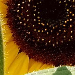 freetoedit bee bees honeybee sunflowers