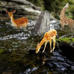 freetoedit deer river giraffe stream