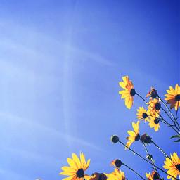 freetoedit background flowers yellowflower bluesky