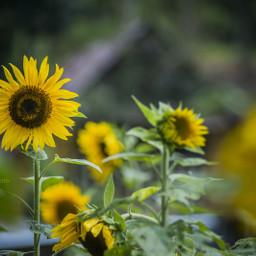 guatemala sunflower nikon teamnikon ngia
