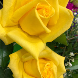 freetoedit yellowroses