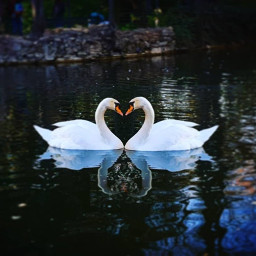 love cisne amor efectoespejo freetoedit ecmirroreffect