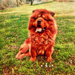 freetoedit dog chowchow animal madrid