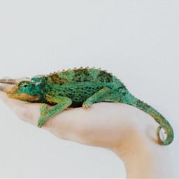 freetoedit lizard minimalism hand reptile