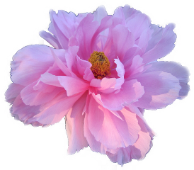 flower purple pink aesthetic freetoedit