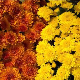 florals floralbackgrounds floralcanvas fallcolors freetoedit