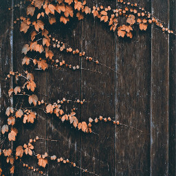 woodenfence ivy autumnvibes fallcolors urbannaturephotography freetoedit