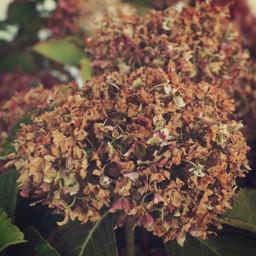 nature autumnvibes flowers naturesbeauty hydrangeas