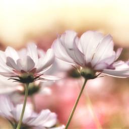 freetoedit japan nature photography cosmos
