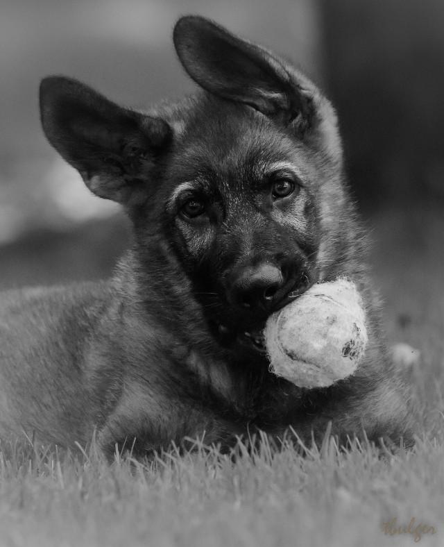 #germanshepherdpuppy #blackandwhite #myphoto #petsandanimals #puppies
