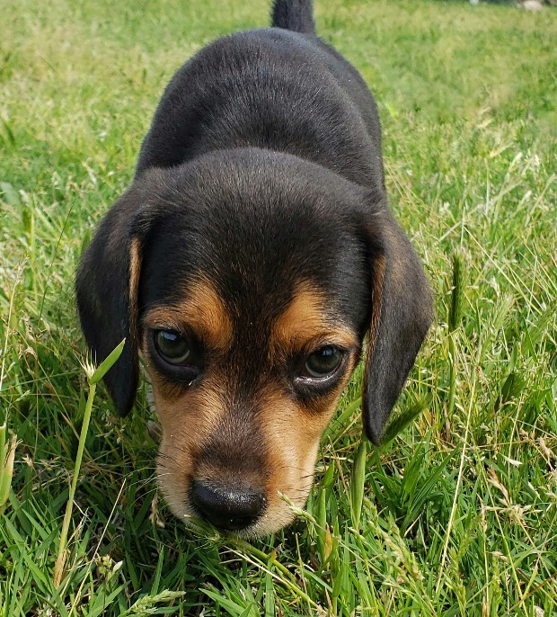 Ace the pocket beagle #cutestpets #puppy #mansbestfriend