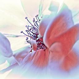 floramagiceffect flower rose myphoto myedit freetoedit