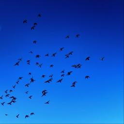 freetoedit flockofbirds lookup sky