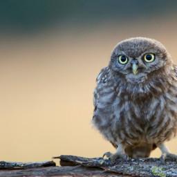 owl cute bird birds freetoedit
