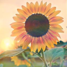 freetoedit aesthetic flowers sunset sunflower