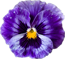 pansy viola purple blossom flower