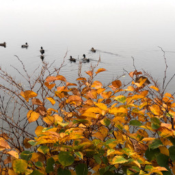 freetoedit pond ducks leaves fog