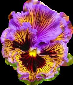 viola fialka purple flower blossom