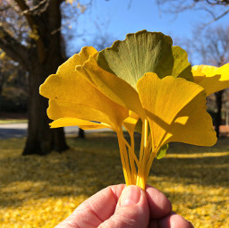 freetoedit leaves yellow autumn fall pcbeautifuldays