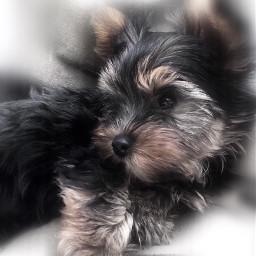 freetoedit puppy cutepets petsandanimals sweetness