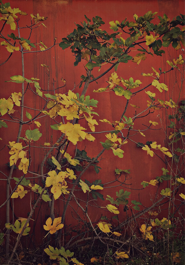 #freetoedit #autumnvibes #fallleaves #wallbackground #colorcontrast #fallcolors #urbannaturephotography